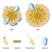 Lipoprotein A Erhöht Symptome
